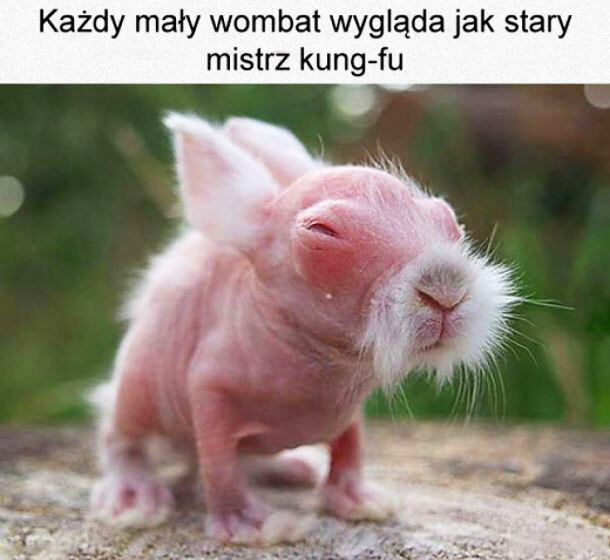 Mały wombat :)