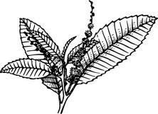 Liście kasztanowca