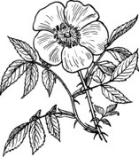 Róża szkocka