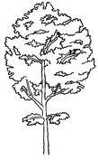Smukłe drzewo