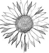 Realistyczny słonecznik